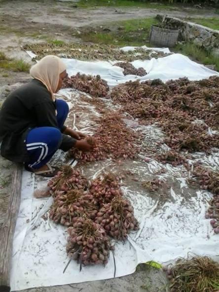 Petani Bawang Merah di Dusun Tanjung Gundul Desa Karimunting Kec.Sungai Raya Kab.Bengkayang